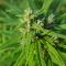 Φυτό κάνναβης - ποικιλλία selecta Haze καλλιέργεια